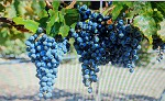 Garro Grapes
